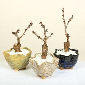 桜盆栽:鉢色選べるミニ一才桜(信楽花型小鉢)*【開花終了】