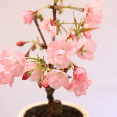 桜盆栽:鉢色選べるミニ一才桜(信楽花型小鉢)