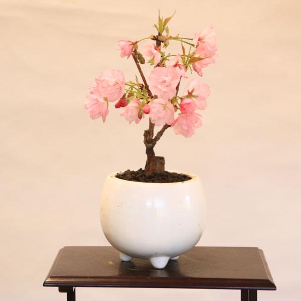 ミニモダン盆栽:一才桜*鉢を選んでください 【2018年葉姿でお届け】【桜盆栽】【さくら盆栽】