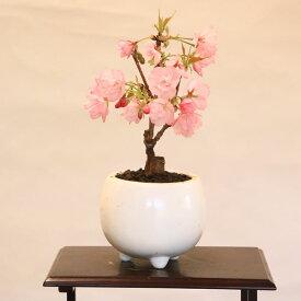 ミニモダン盆栽:一才桜*鉢を選んでください 【開花終了】【桜盆栽】【さくら盆栽】