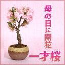 【母の日 ギフト】桜盆栽:母の日開花桜* 【送料無料】【さくら盆栽】