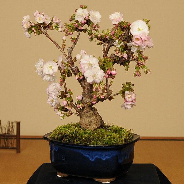 ◇楽天1位◇桜盆栽:八重桜(大)*【あす楽対応】【さくら盆栽】