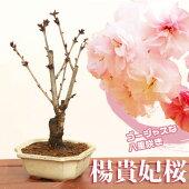 桜盆栽:ようきひ桜(角切長方陶器鉢)*