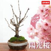 桜盆栽:陽光桜(信楽焼鉢)*【送料無料】【即日出荷可】