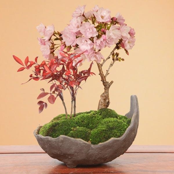 桜盆栽:桜・南天寄せ植え(くらま鉢)*【開花終了】【送料無料】【さくら盆栽】【あす楽対応】