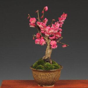 小品盆栽:紅梅(信楽焼小鉢)*【2021年開花終了】【送料無料】【あす楽 ギフト】