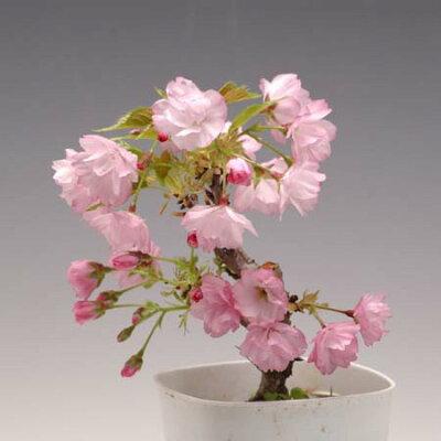 盆栽素材:一才桜*【あす楽対応】【楽ギフ_包装】【楽ギフ_メッセ入力】