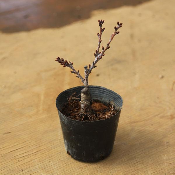 ミニ盆栽素材:一才桜(さくら)黒ポット*【あす楽対応】【ぼんさい ボンサイ】【さくら盆栽】