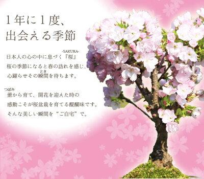 盆栽:一才桜【あす楽対応_関東】【あす楽対応_近畿】