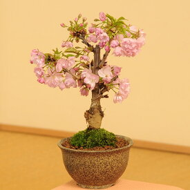 桜盆栽素材:一才桜(さくら)*植替えサービス&苔付【ぼんさい ボンサイ】【さくら盆栽】
