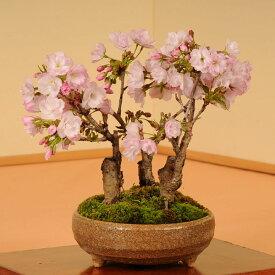 盆栽:旭山桜3本仕立て(信楽焼鉢)*【開花終了】