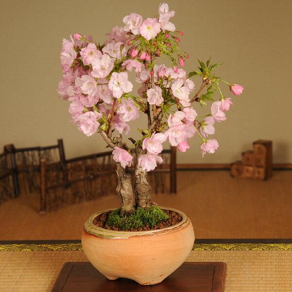 盆栽:旭山桜2本仕立て(信楽焼鉢)*【2018年葉姿でお届け】