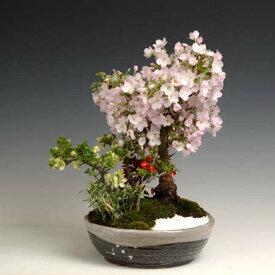 盆栽:御殿場桜寄せ(信楽焼鉢)*【送料無料】【開花終了】