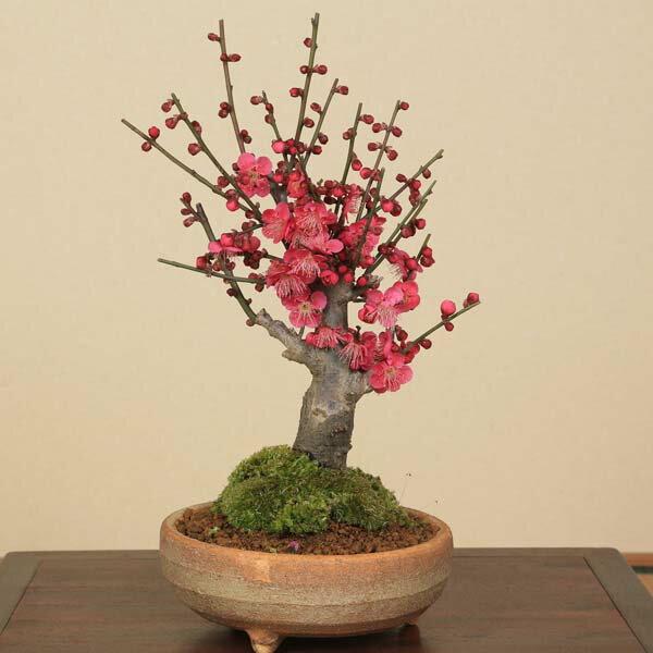 盆栽:紅梅(信楽焼鉢)*【あす楽対応】【2019年開花終了】