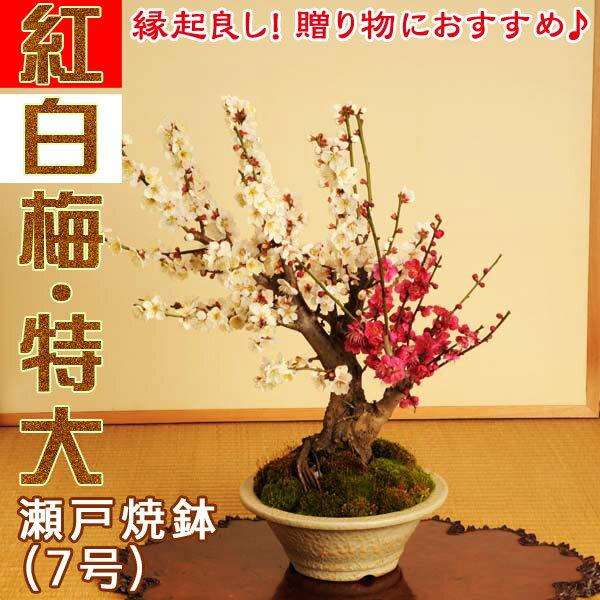 盆栽:紅白梅特大(瀬戸焼白鉢)*【送料無料】【ウメ】