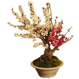 盆栽:紅白梅特大(瀬戸焼白鉢)*【送料無料】【ウメ】【2019年開花終了】