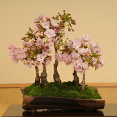 桜寄せ盆栽〜『桜林』〜