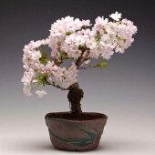 桜盆栽(送料無料):八重桜(瀬戸焼鉢)