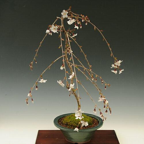 盆栽:しだれ富士桜(緑丸鉢)*【2018年春開花】