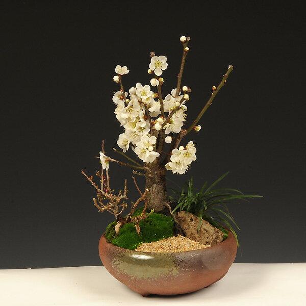 盆栽:白梅・長寿梅寄せ(瀬戸焼鉢)*
