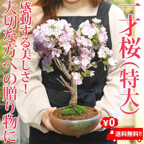 ◇楽天1位◇盆栽:特大一才桜(瀬戸焼三彩鉢)*【送料無料】【あす楽対応】
