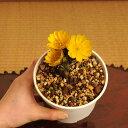 山野草:福寿草3芽