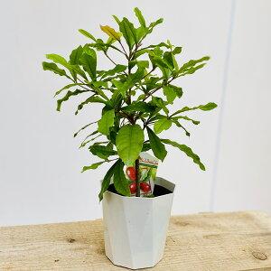 観葉植物 果樹苗:ミラクルフルーツ*3.5号