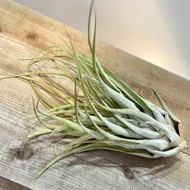 おしゃれ 観葉植物 エアープランツ:チランジア カピタータ サーモン*エアプランツ ティランジア