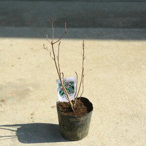 庭木・植木 苗木:ジューンベリー(リージェント)*最小品種!鉢植えとしても最適!