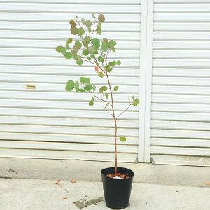 庭木・観葉植物:ユーカリ(ポポラス)お得なポット苗 100cm 佐川急便