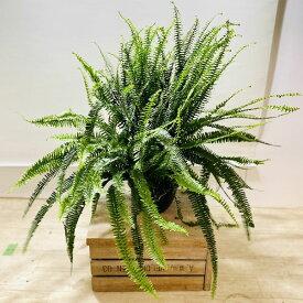 おしゃれ 観葉植物:ネフロレピス コルディフォリアソード*吊り鉢 8号