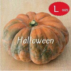 【ハロウィン】生かぼちゃ Lサイズ カボチャ 本物 自農場産 ミュスケ・ド・プロヴェンス種