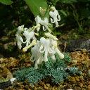 [山野草 高山植物] 白花コマクサ
