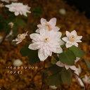 [山野草] ピンク八重咲バイカカラマツソウ