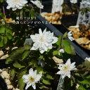 [山野草] 白花八重咲バイカカラマツソウ