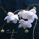 [山野草] 白花レンゲショウマ