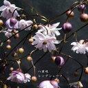 [山野草] 八重咲レンゲショウマ