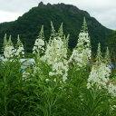 [山野草] 白花ヤナギラン