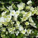 [山野草] ヤマアジサイ「富士の滝」