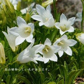 [山野草] 白花チシマギキョウ