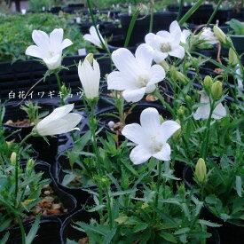 [山野草] 白花イワギキョウ