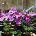 [山野草] 赤花テシオコザクラ