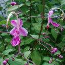 [山野草] ピンク花カリガネソウ
