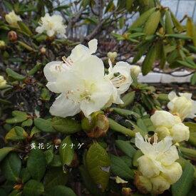 [山野草] 黄花シャクナゲ