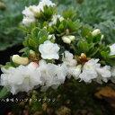 [山野草] 八重咲きハコネコメツツジ