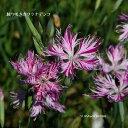 [山野草] 絞り咲きカワラナデシコ