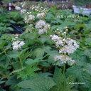 [山野草 茶席の花] 白花キョウカノコ