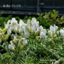 [山野草 高山植物] 白花レブンソウ