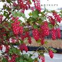 [山野草] 紅花フサスグリ