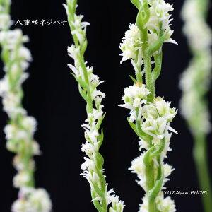 [山野草] 八重咲ネジバナ